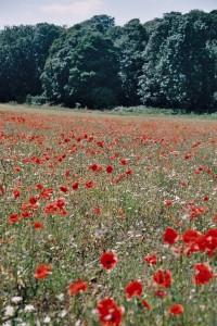 Field of poppies near Brancaster